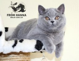 luxury_fraya_of_hanna_kitten