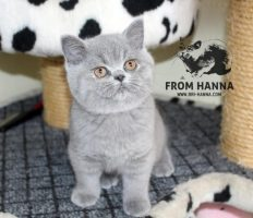 luxury_lina_of_hanna_cat