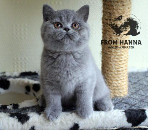 luxury_lina_of_hanna_kitten