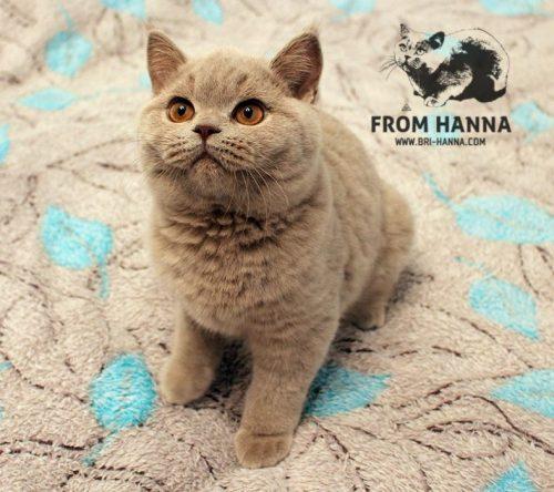 luxury_orion_of_hanna_cat