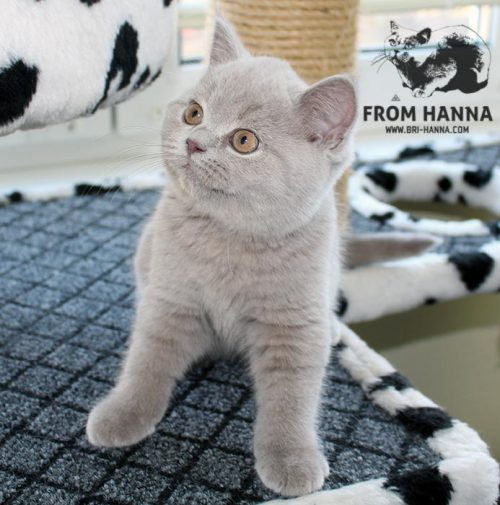 luxury_orion_of_hanna_kitten