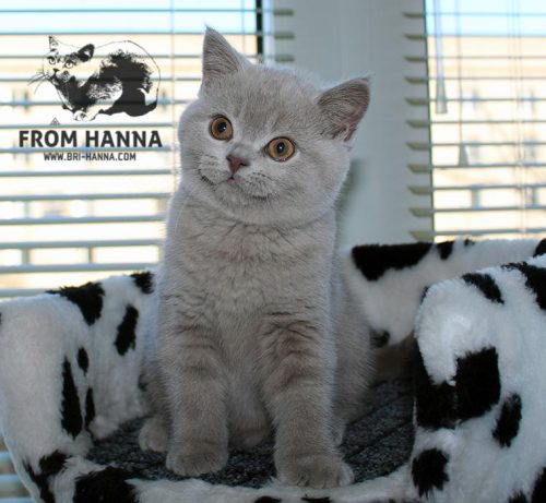 luxury_vazilis_of_hanna_cat