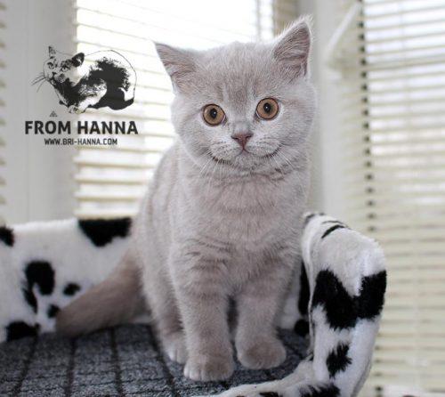 luxury_vazilis_of_hanna_kitten