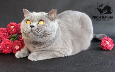 стандарт WCF британской кошки