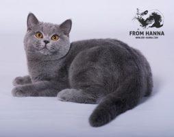 стандарт тело британская кошка